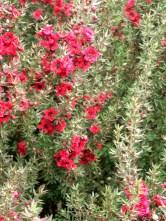 santa cruz flower6