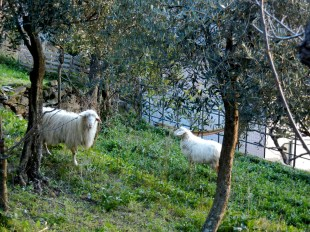And the sheep in someones yard, as viewed from ... stairs.