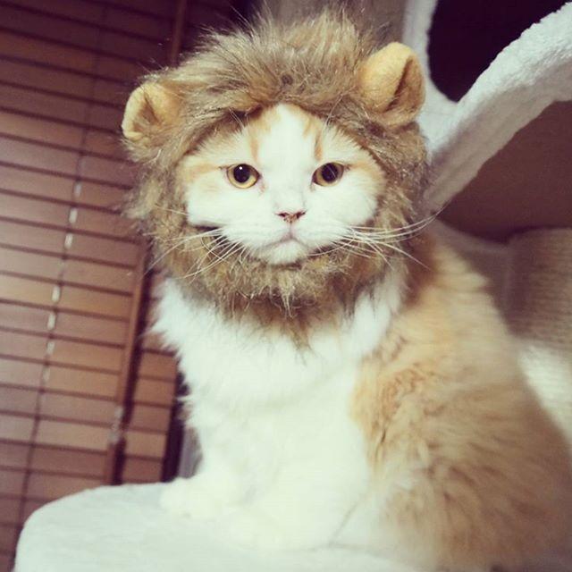 ライオンコス。#猫 #ねこ #ネコ #cat #catstagram #instacat #catsofinstagram #cute #meow #もふもふ #instacats #cosplay #仮装