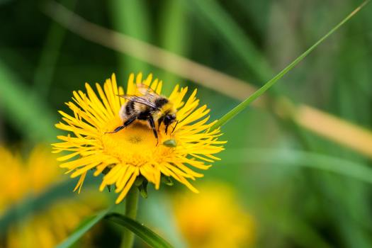 a bee on a dandelion