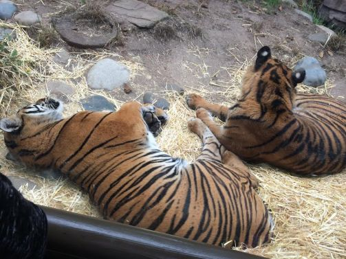 We were able to see two young tigers resting right up against the glass!