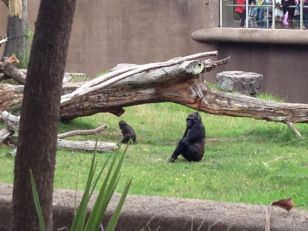 Mama and Baby Gorillas!