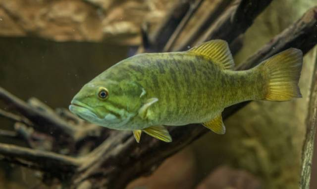 Typical smallmouth bass habitat and behavior
