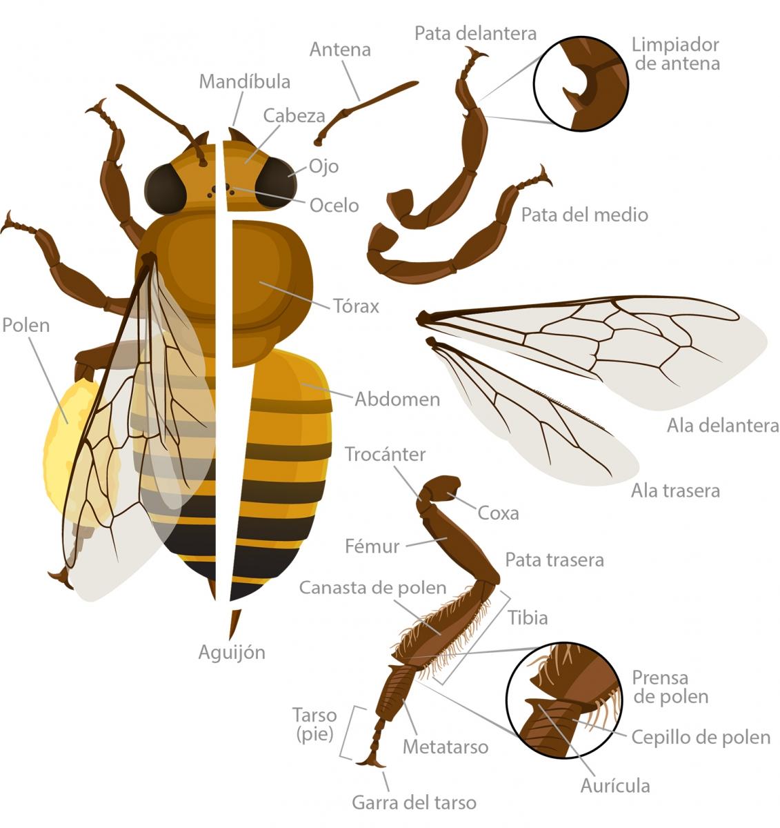 La Anatomia De Las Abejas Meliferas