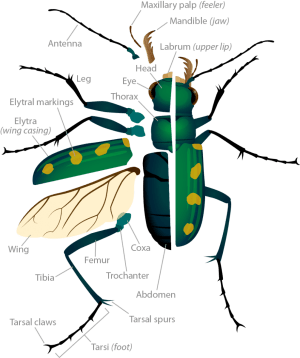 Tiger Beetle Anatomy | Ask A Biologist