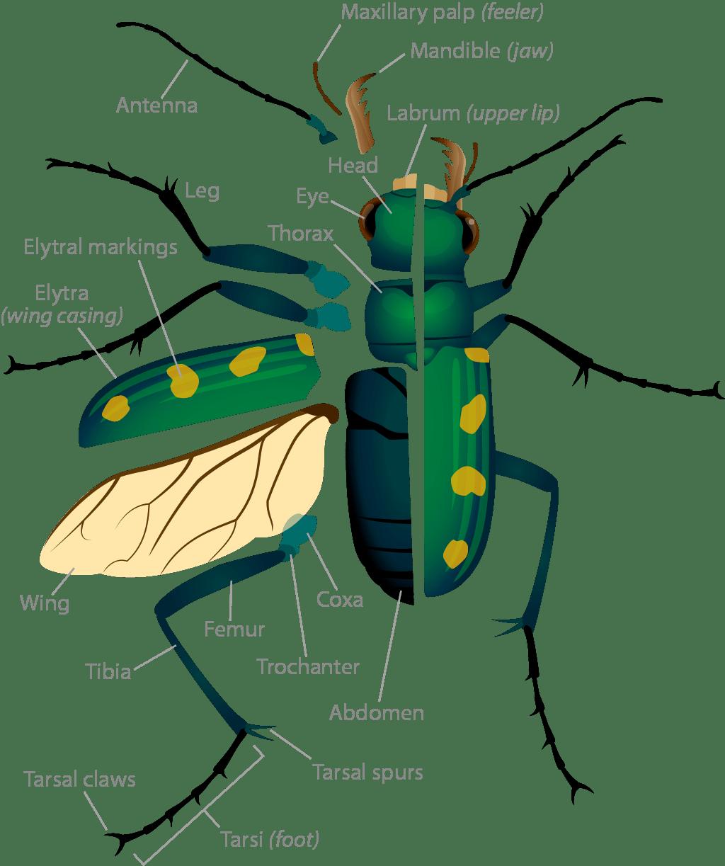 Tiger Beetle Anatomy Asu