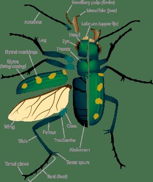 Tiger Beetle Anatomy | ASU  Ask A Biologist