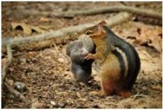 chipmunk eating carrion