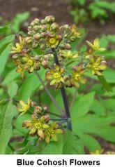 450px-Caulophyllum_thalictroides_002