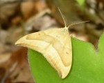 moth with fuzzy antennae
