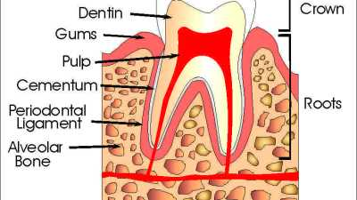The Parts of a Tooth
