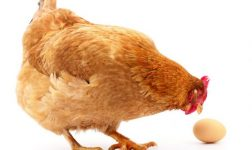 Here's What Farms Do To Hens Who Are Too Old To Lay Eggs