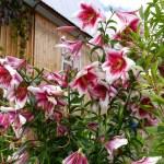 Дом с лилиями