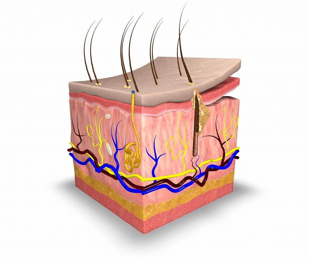 Layer By Layer Understanding Your Skin S Structure