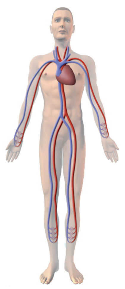 Our amazing circulatory system - interaction with symptoms of vascular disease