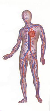 heart_veins_arteries_circulculatory_system