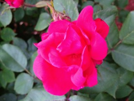 The other bushes in front of our house look like they'll all have pink roses. So pretty!
