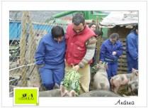 dando de comer os porcos