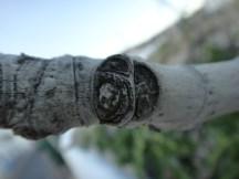 Cicatriz que rodea la rama y huella dejada por el peciolo de la hoja y el pedúnculo del higo