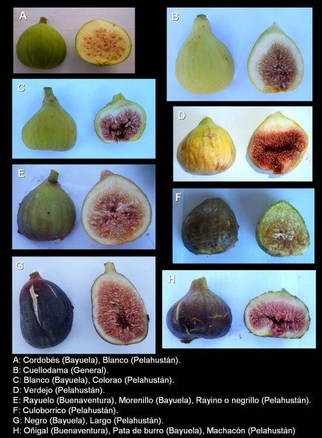 Ejemplo de variedades de higos