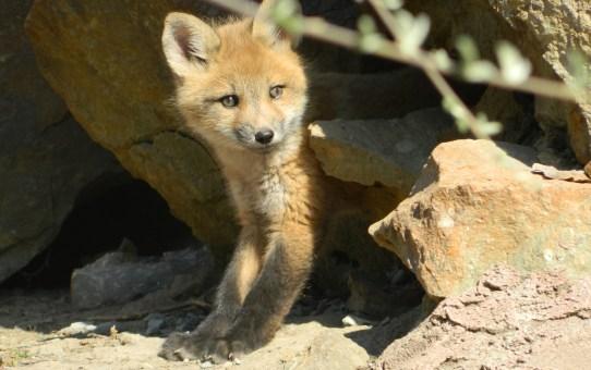 Young fox cub.
