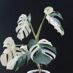 斑入り モンステラ ボルシギアナ ハーフムーン Varigated Monstera Borsigana Half a month オークション出品いたします。よろしくお願いします。#インテリアグリーン #グリーンインテリア #グリーンのある暮らし #グリーンのある生活 #グリーンのあるインテリア #インドアグリーン #観葉植物 #観葉植物インテリア #モンステラ