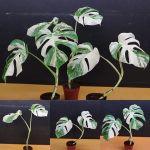 斑入り モンステラボルシギアナ ホワイトタイガー Varigated Monstera Borsigana white tiger葉っぱ2枚付き3鉢です。#グリーンインテリア #モンステラ斑入り #モンステラ成長記録 #モンステラ #モンステラデリシオーサ #グリーンインテリアのある暮らし #グリーンのある暮らし #植物のある暮らし #植物のある生活 #鉢物
