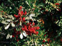 Detalle de Lentisco, Pistacia lentiscus