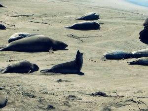 Sea Lion Rookery in San Simeon