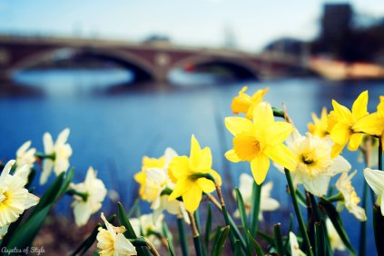 Daffodils and Charles River