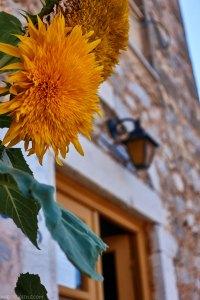 Yellow flower in Kardamyli, Peloponnese, Greece