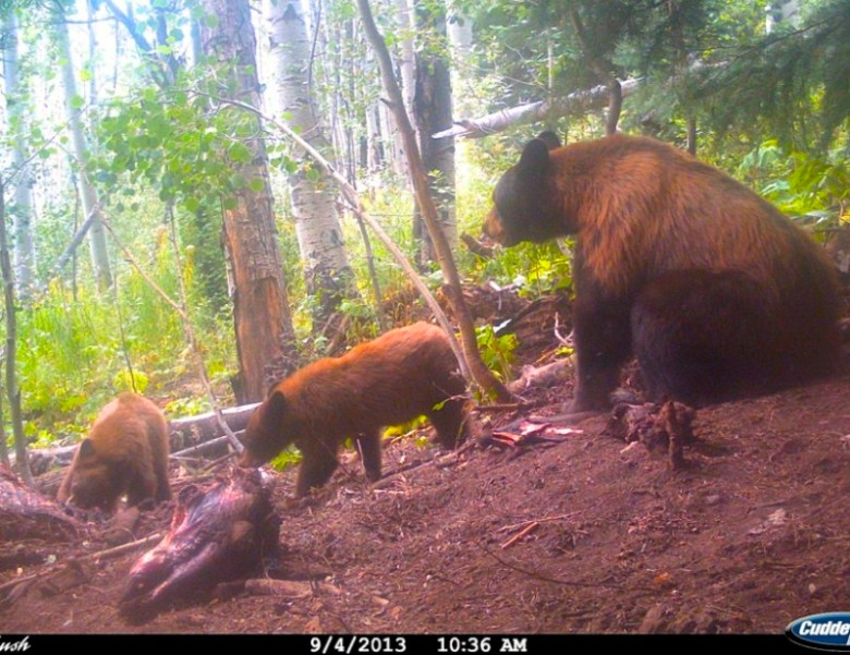 Bear, cubs and carcass