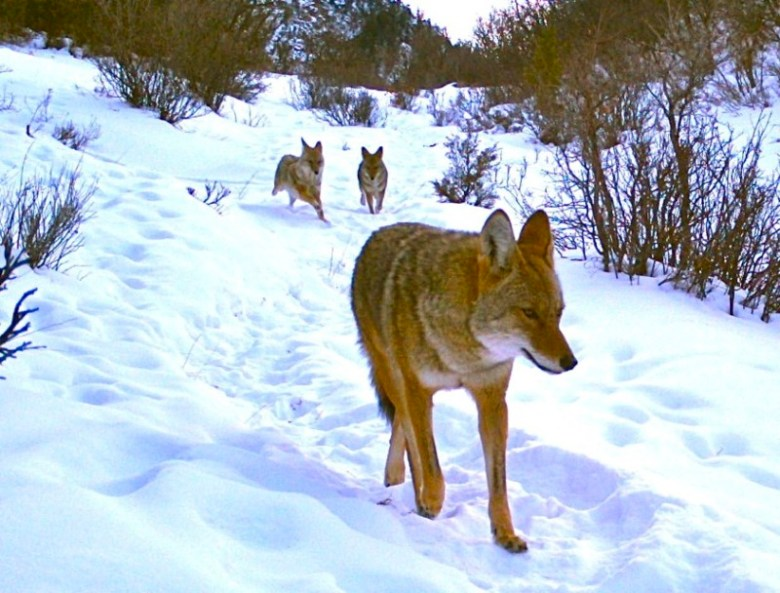 coyotes on trail