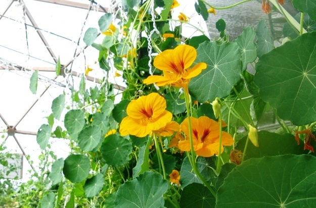 Nasturtiums, spicy, edible flowers, flourish on a trellis at the Cozy Point growing dome.