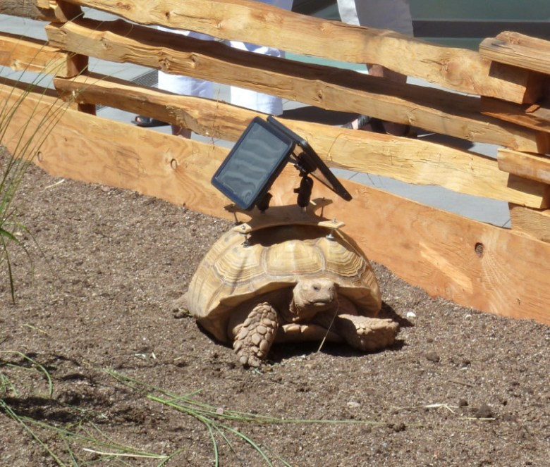 Given the slow pace of the review process for the original Wienerstube building, some may find irony in the fact that an exhibit featuring tortoises was the first exhibit on the new roof-top deck.