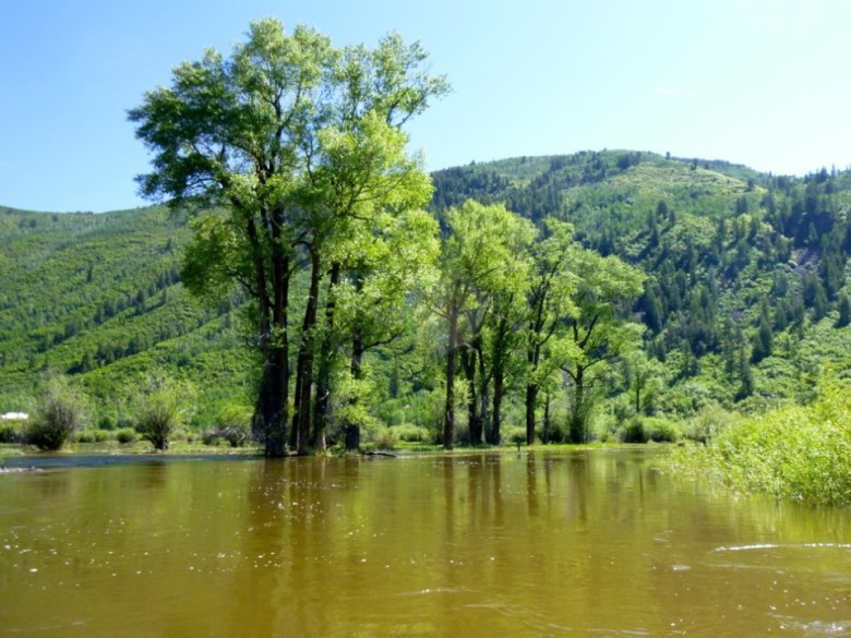 A stand of cottonwoods in high water in the Stillwater section of the upper Roaring Fork River on June 17, 2015.
