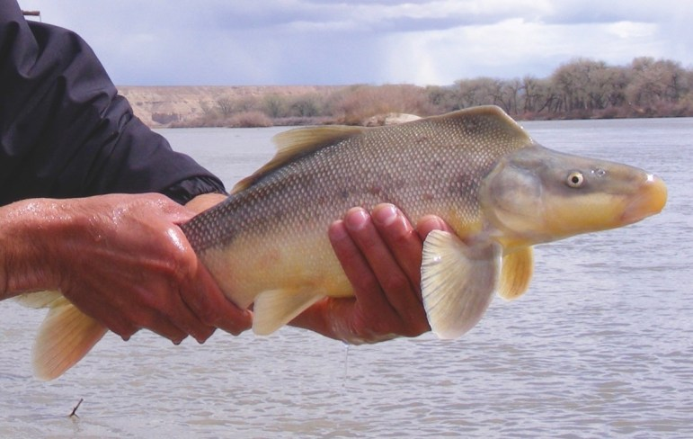 A razorback sucker fresh from the Colorado River.