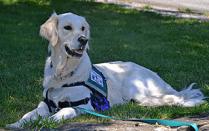 golden retriever rescue dog
