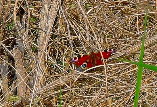 A Peacock Buterfly (this was about 200 metres from Bawsey Drain which is known as place where they live). I have already shared this on twitter and my timeline is going crazy with responses.