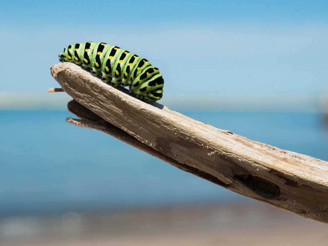 A caterpillar on one end of a wooden branch | Aspioneer