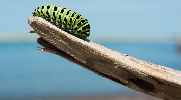 A caterpillar on one end of a wooden branch   Aspioneer