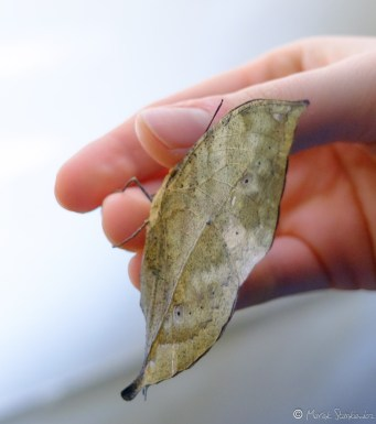 Muzeum motyli Ot taki latający suchy listek :)