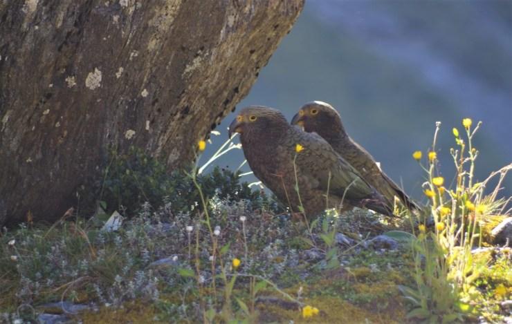 Kea fledglings