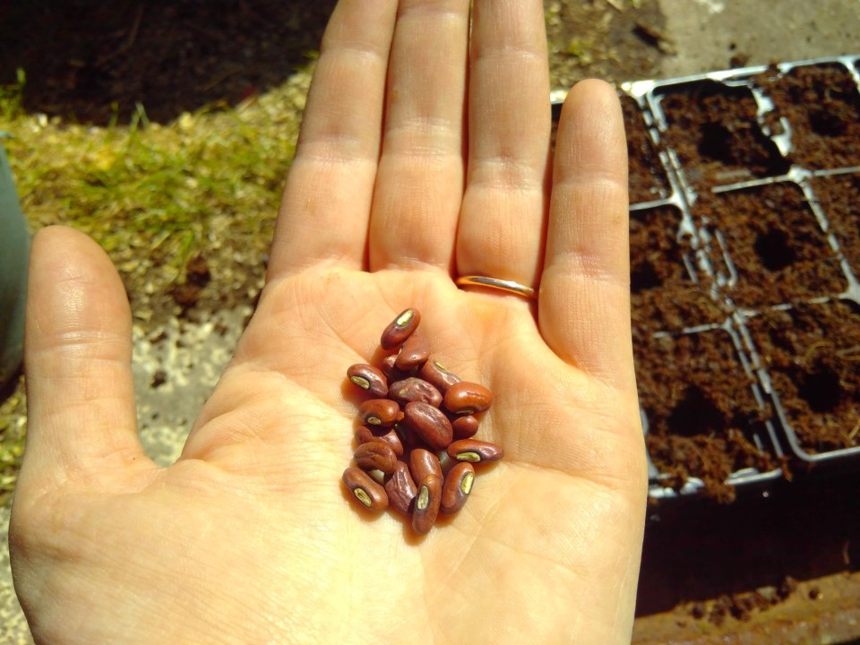 cosse voiolet beans on the palm of a hand