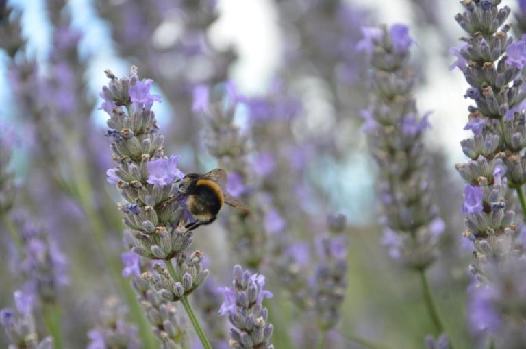 bumble bee bum on lavender