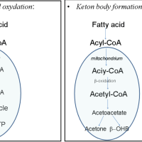 https://i1.wp.com/asploro.com/wp-content/uploads/2019/03/Fig-3_Schematic-representation-of-full-decomposition-of-fatty-acids-and-the-ketone-body-formation.png?resize=200%2C200&ssl=1