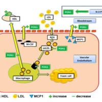 https://i1.wp.com/asploro.com/wp-content/uploads/2020/06/Fig-10_The-effects-of-omega-3-PUFAs-on-cholesterol-efflux-and-paraoxonase-1.jpg?resize=200%2C200&ssl=1