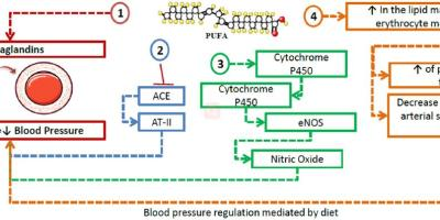 https://i1.wp.com/asploro.com/wp-content/uploads/2020/06/Fig-5_The-role-of-polyunsaturated-fatty-acids-and-their-role-in-managing-hypertension..jpg?resize=400%2C200&ssl=1