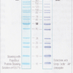 10-200 kDa Unstained Protein Marker