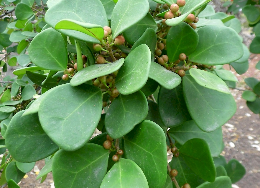 Ficus Deltoidea Uf Ifas Assessment University Of